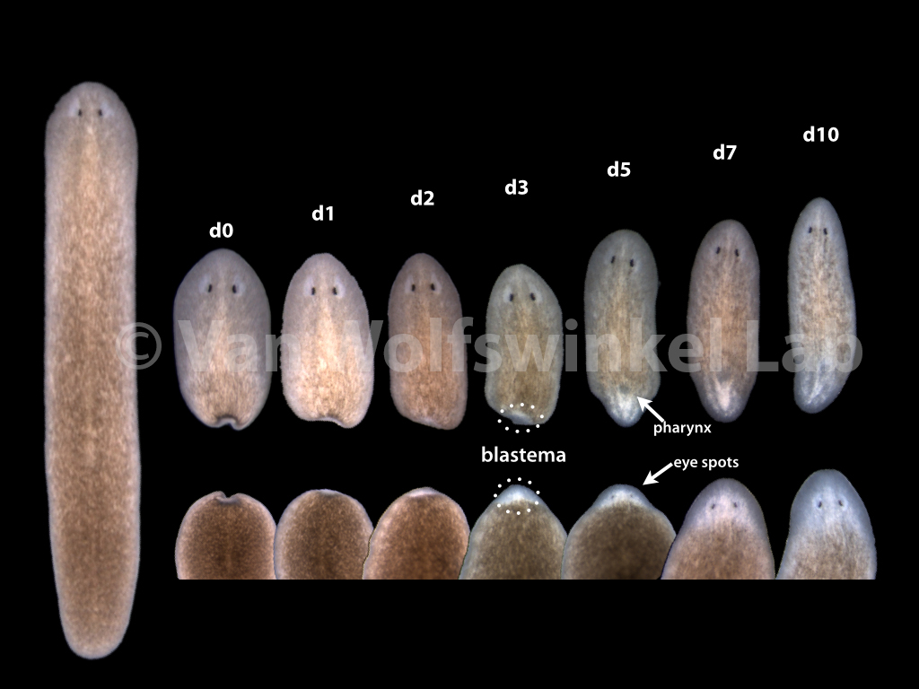 It takes Schmidtea about 10 days to regenerate a head (including a brain!) or the entire posterior part of the body. The new tissue, which is formed by new cell division of the neoblasts, is initially visible as an unpigmented ougrowth called the blastema.